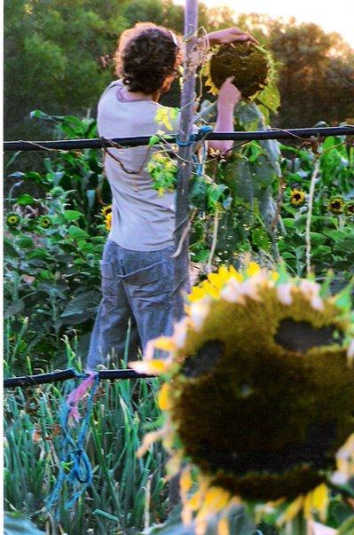 adam sunflower